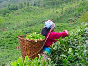 Tea picker in Darjeeling jurisdiction